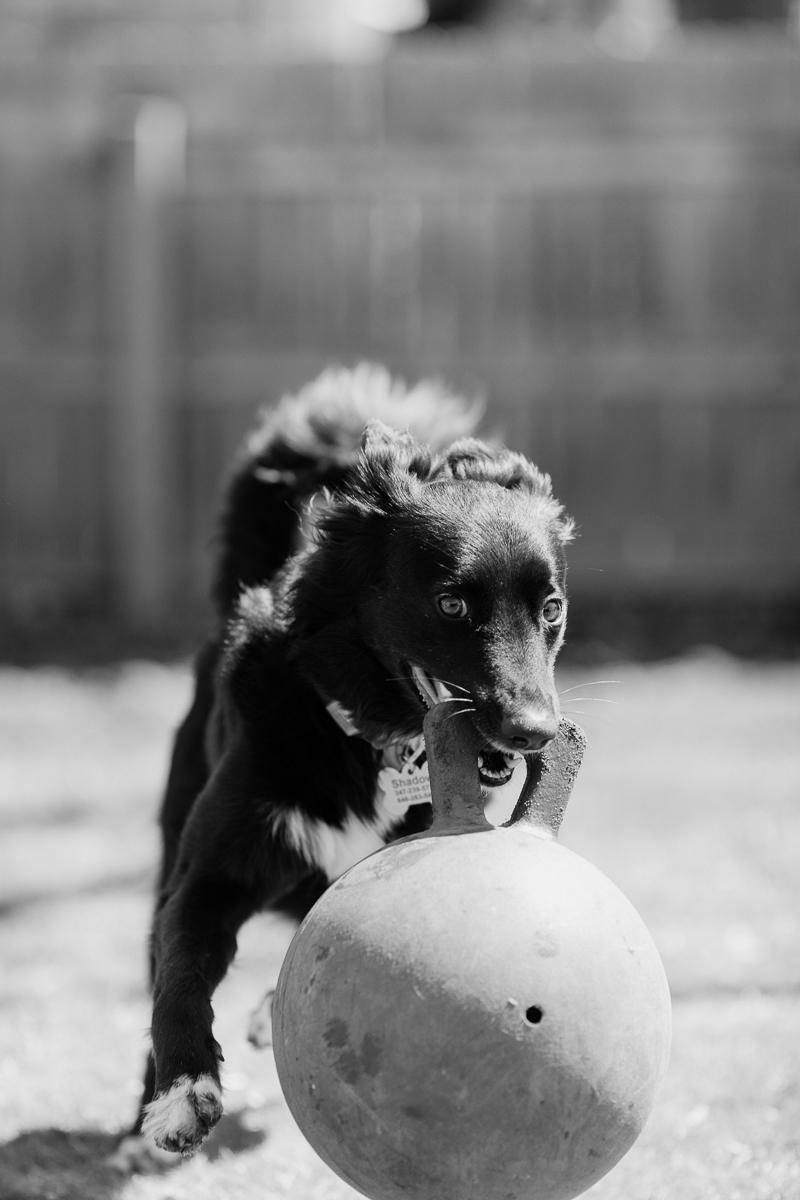 dog playing in backyard, pet portraits, West Orange, NJ ©Casey Fatchett Photography