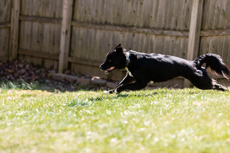 dog playing in backyard, Border Collie mix | ©Casey Fatchett Photography, lifestyle dog photography West Orange, NJ