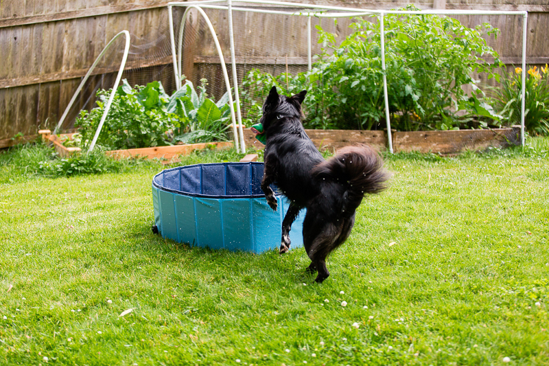 Border Collie mix jumping into pool | NJ and NYC pet photographer, ©Casey Fatchett Photography