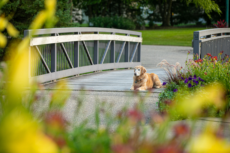 dog waiting on the bridge, end of life dog session ideas | ©K Schulz Photography, lifestyle pet portraits