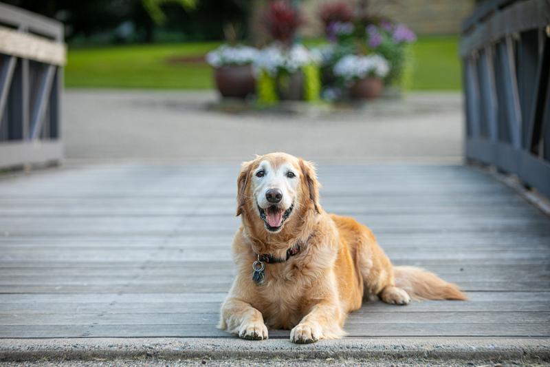 Golden Retriever on bridge, lifestyle dog photography ©K Schulz Photography, Bloomington Minnesota Pet Photography