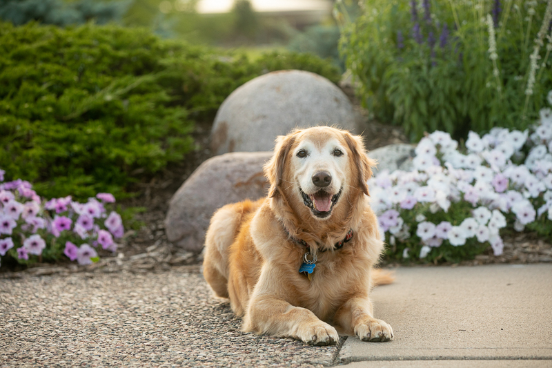 Senior dog in front of flowers in park, ©K Schulz Photography lifestyle pet portraits