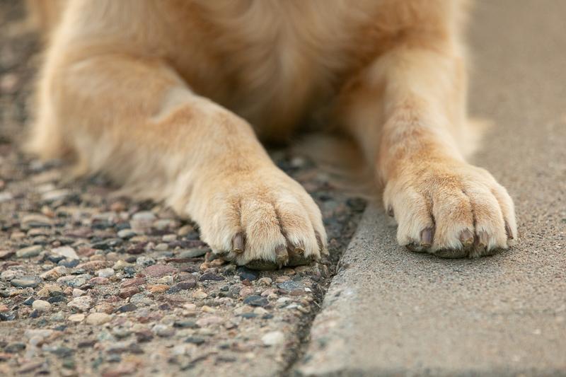 Golden Retriever's paws, dog details | ©K Schulz Photography