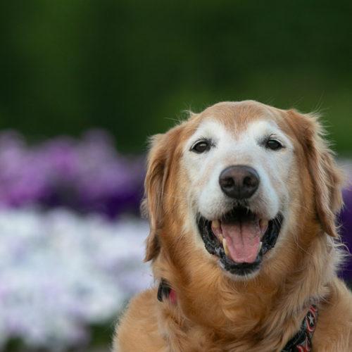 In Loving Memory:  Buddy the Golden Retriever