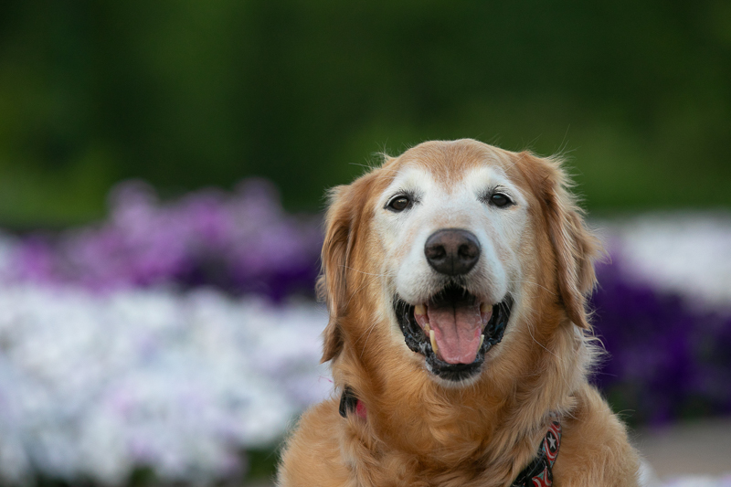 Golden Retriever with white face in front of flowers | ©K Schulz Photography, Minnesota Pet Photography