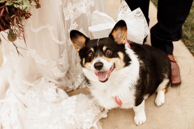 black, white, tan Corgi posing with bride and groom, dog-friendly wedding photos ©McKenzie Bigliazzi Photography