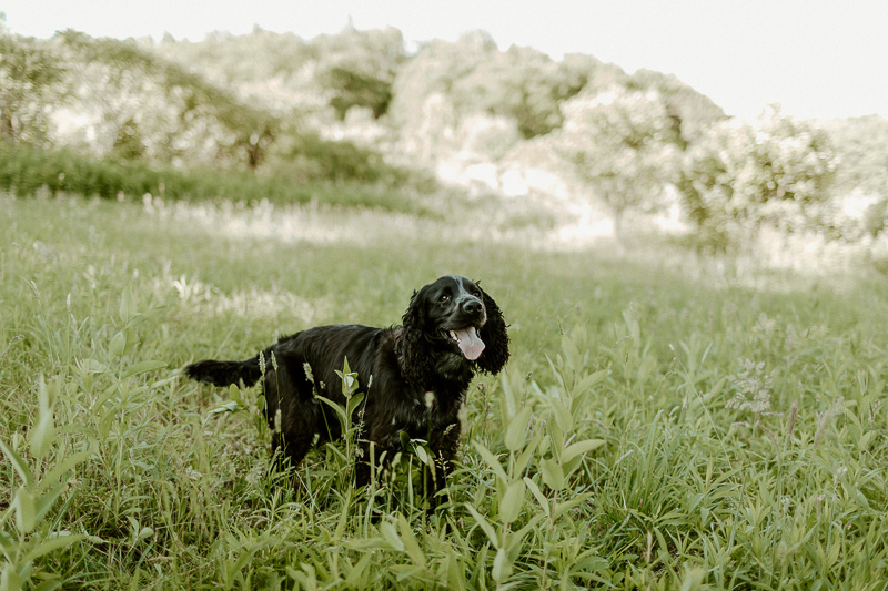 black dog standing in green field, on location dog photography, Erie, PA, | ©Michaela Kessler Photography