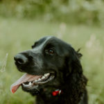 Happy Tails:  Harper the English Cocker Spaniel   Erie, PA