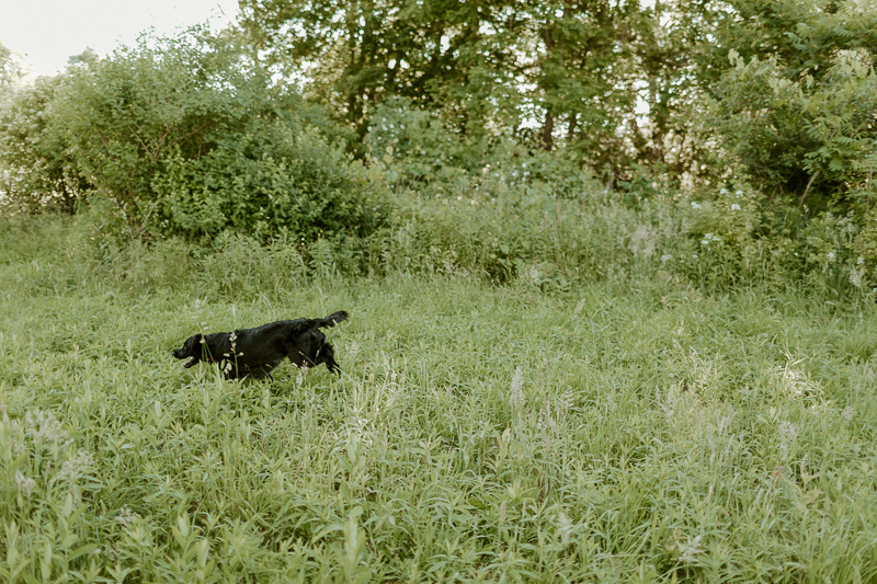 hunting dog running in field | ©Michaela Kessler Photography, northwestern PA pet portraits