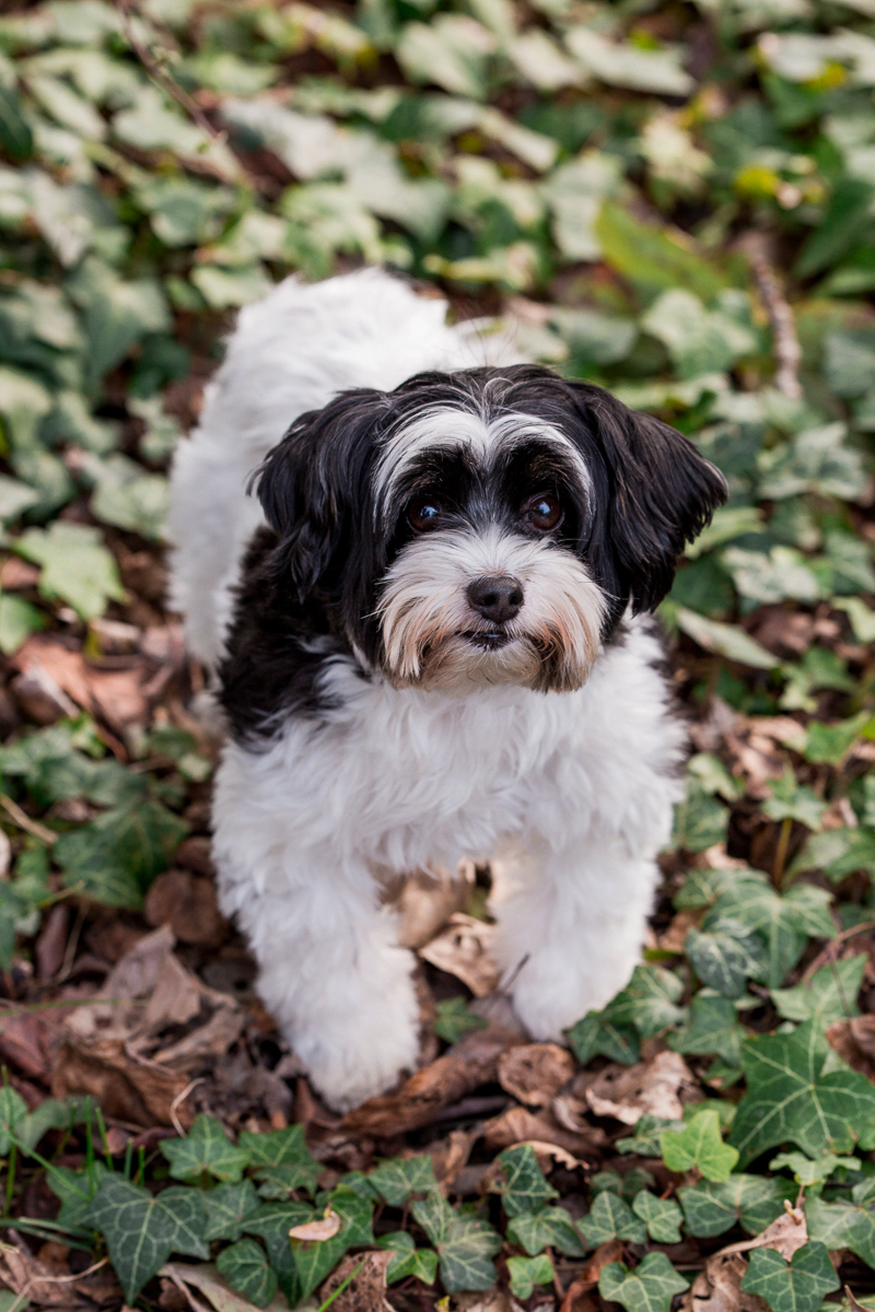 black and white Shih Tzu mix standing in ivy, ©M Laine Photography | lifestyle dog photography, Seattle, WA