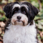 Happy Tails:  Cooper the Shih Tzu/Poodle Mix | Seattle, WA
