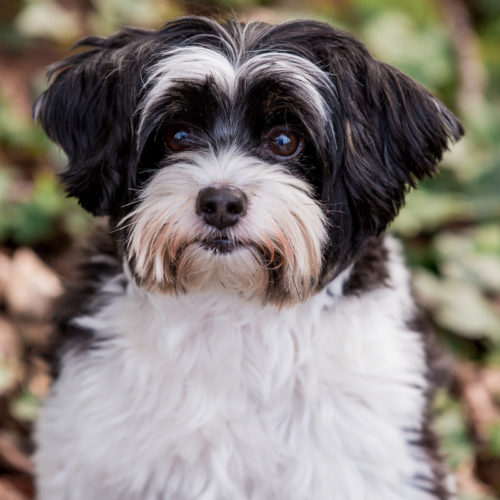 Happy Tails:  Cooper the Shih Tzu/Poodle Mix | Seattle, WA