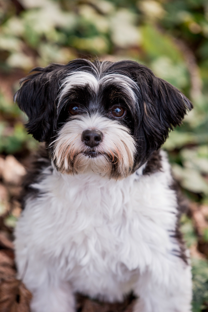 Shih-Tzu/Poodle mix looking intensely into camera, lifestyle dog photography, Seattle, WA ©M Laine Photography
