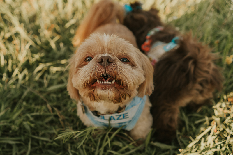 two Shih Tzus in the field | ©Nathalia Frykman Photography