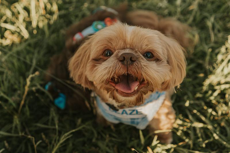 cute Shih Tzu with name on harness | ©Nathalia Frykman Photography, Lawrenceville, Georgia