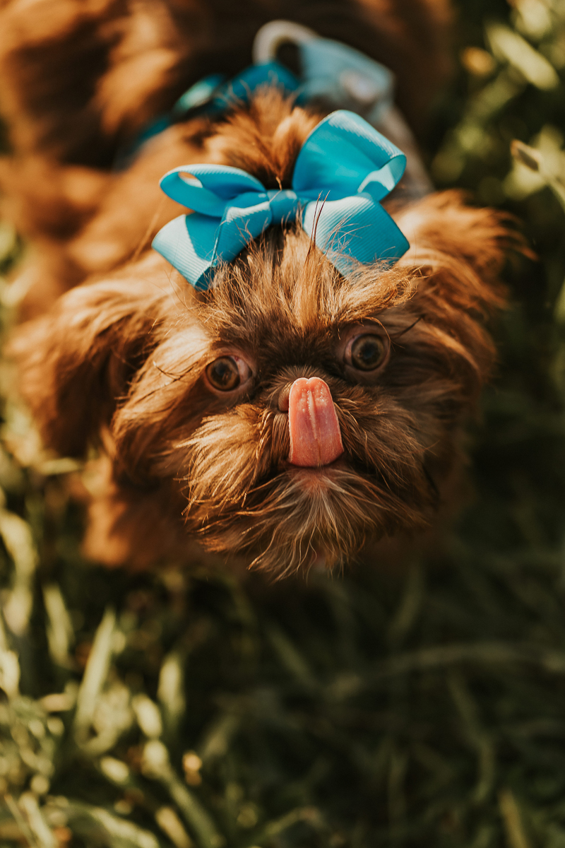 small puppy wearing blue bow, tongue out, ideas for dog photography | ©Nathalia Frykman Photography, lifestyle pet portraits, Lawrenceville, Georgia