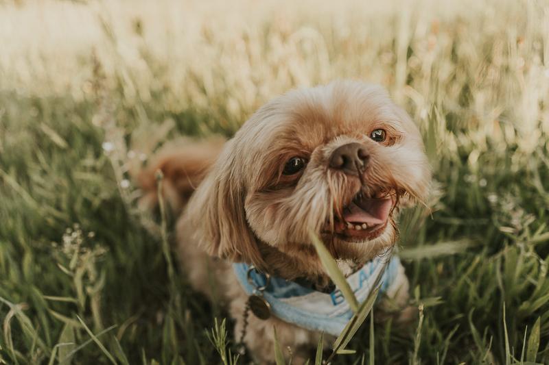 cute dog wearing personalize bandana | lifestyle pet photography ©Nathalia Frykman Photography