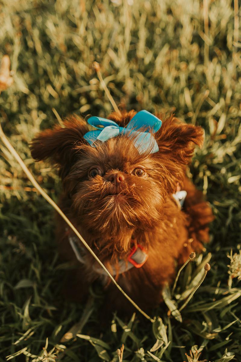 small brown Shih Tzu puppy | lifestyle pet portraits, ©Nathalia Frykman Photography