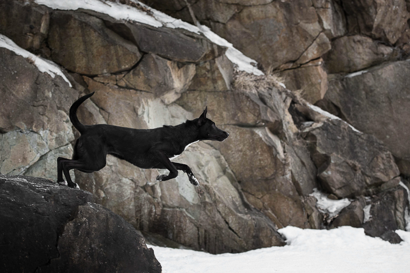 winter pet portraits, dog jumping off of rock into snow, Chantal Levesque Photography | Montreal dog photographer