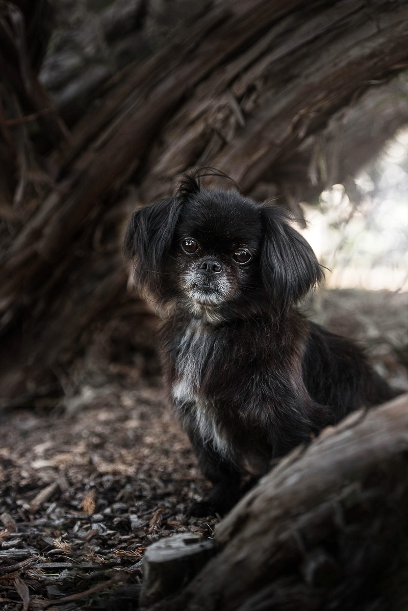 cute small dog, Chasing Shadows pet photography project by Chantal Levesque Photography | Montreal dog photographer