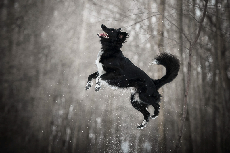 Chantal Levesque Photography | Ontario dog photography, dog jumping into the air, winter pet portrait ideas