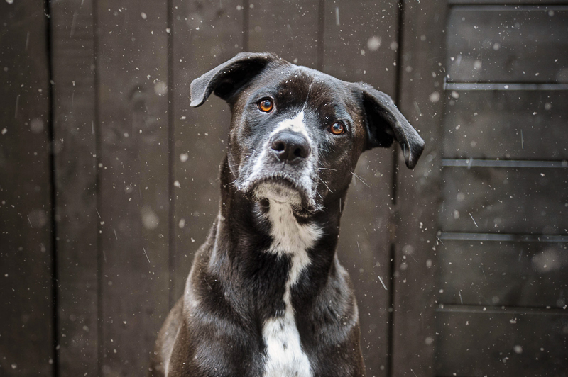 cute mixed breed sitting in front of farm building, winter pet portraits | Chantal Levesque Photography | Montreal dog photographer