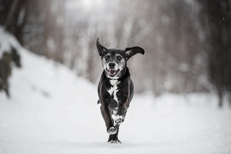 senior dog running in the woods, snow dog, Chantal Levesque Photography | Montreal dog photographer