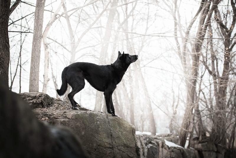 mixed breed black dog on rock, lifestyle winter dog photography | ©Chantal Levesque Photography