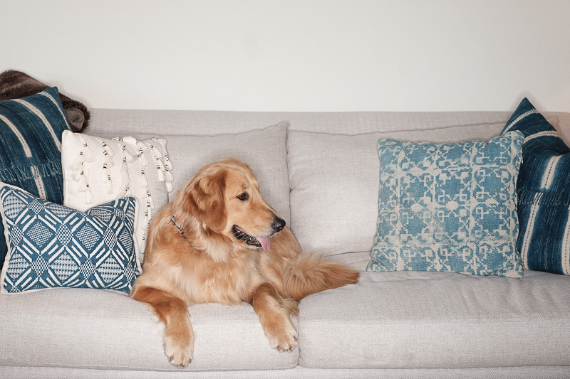 Golden Retriever sitting on sofa, ©Nicole Caldwell Photo | in home pet portrait session