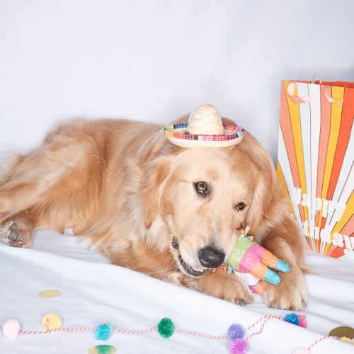 Happy Tails:  At Home with Gunnar the Golden Retriever