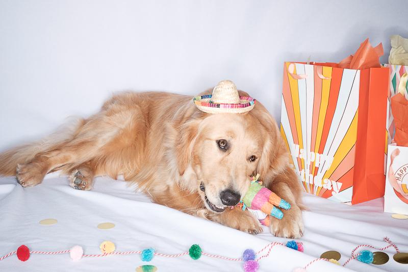 dog chewing on small pinata, lifestyle dog photography, dog birthday celebration | ©Nicole Caldwell Photo | dog-friendly portrait session