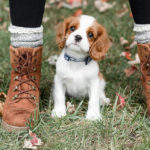 Puppy Love:  Kipper the King Charles Cavalier Spaniel Puppy