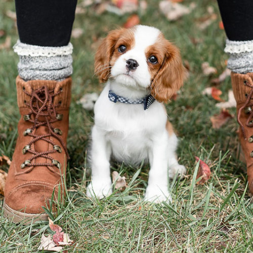 Puppy Love:  Kipper the King Charles Cavalier Spaniel Puppy