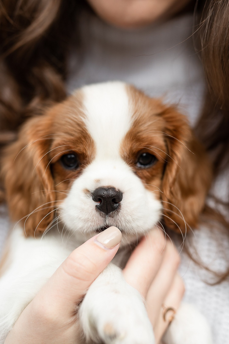 King Charles Cavalier puppy, pets and people portraits, Baltimore | Heather O'Steen Photography