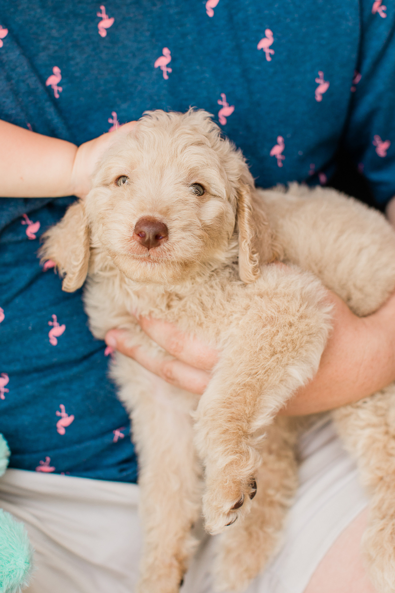 cute golden doodle puppy | ©Brandy Morrison Photography | dog-friendly family portraits, Lexington, SC