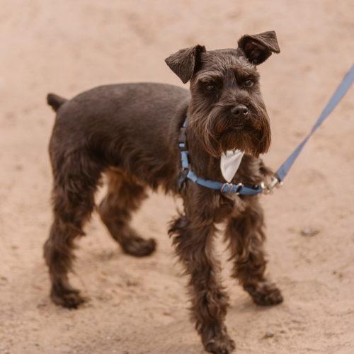 Best Wedding Dog:  Chip the Mini Schnauzer |  Abiquiú, NM