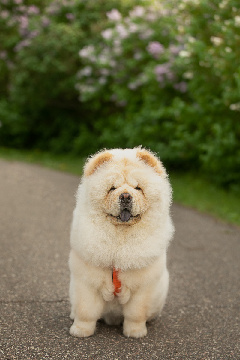 Fluffy Chow ©K Schulz Photography | lifestyle dog photography