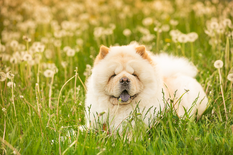 Adorable fluffy dog in the dandelions | ©K Schulz Photography, Bloomington MN and beyond