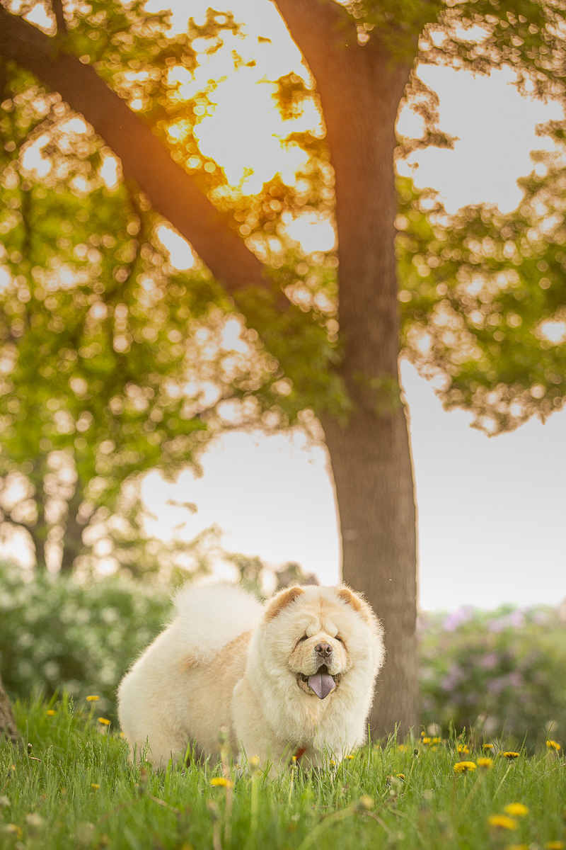 Golden Hour dog photography ideas, | ©K Schulz Photography, MN pet photography