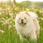 Happy Tails:  Marvel the Chow Chow
