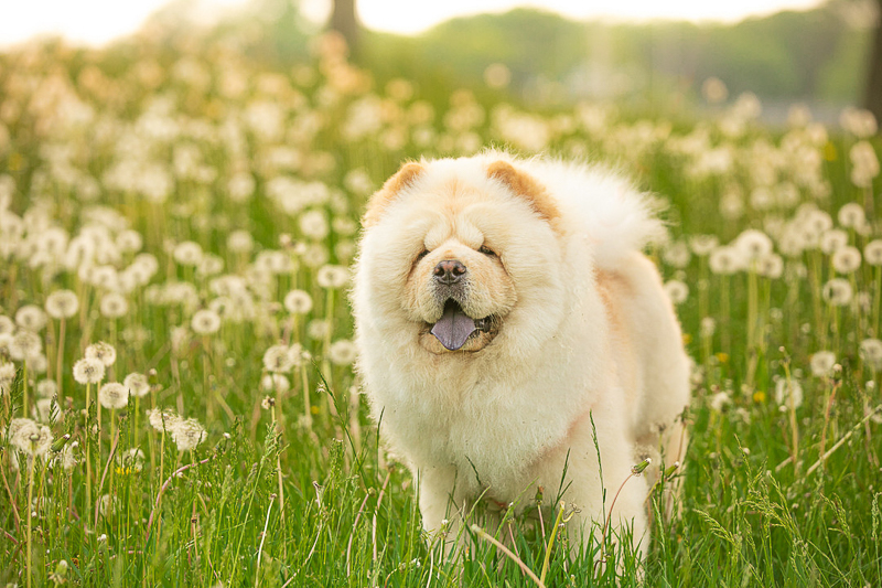cute Chow standing in field of Dandelions, so fluffy! ©K Schulz Photography, MN pet photography