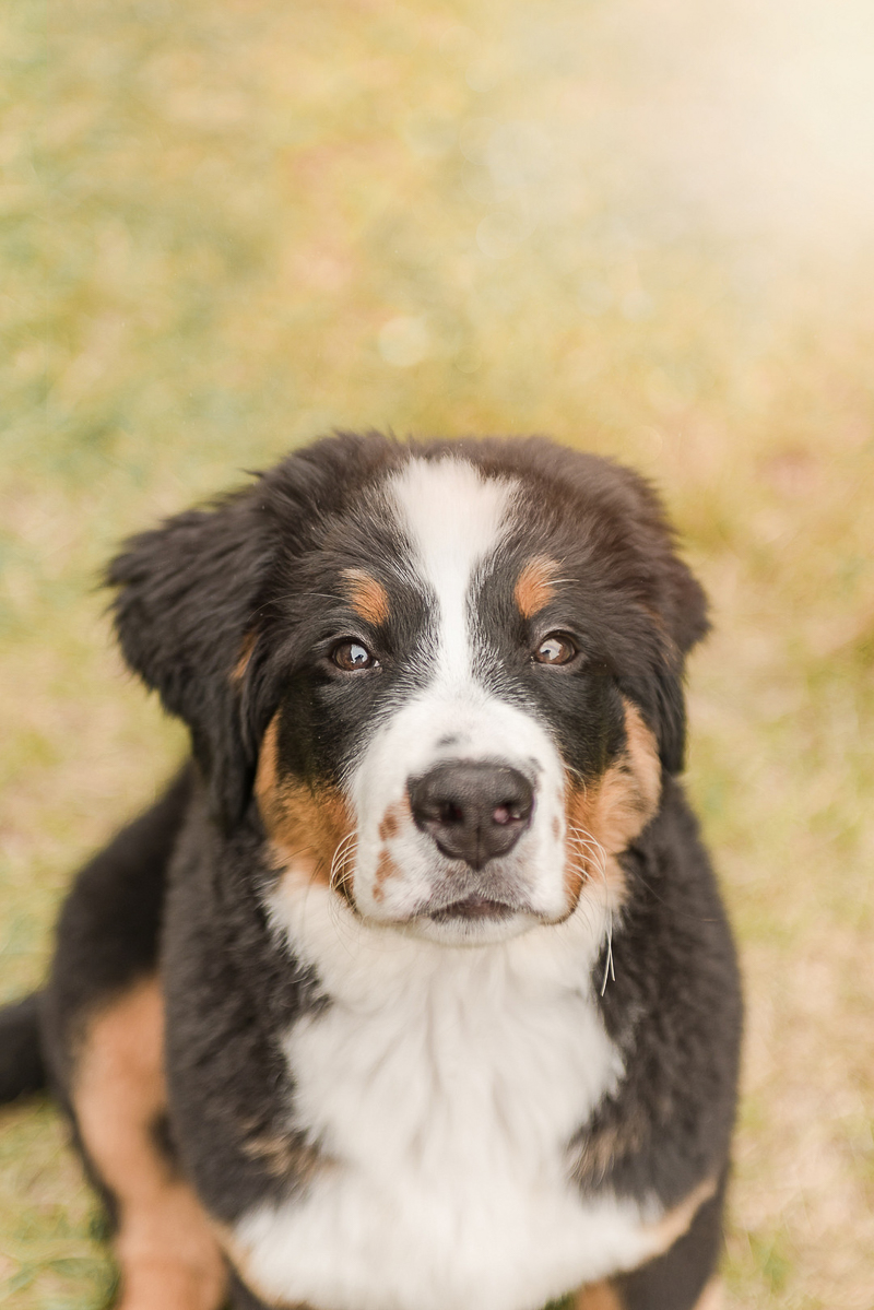 Bernese Mountain Dog puppy | Pearls & Pines Photography | Seattle dog photography
