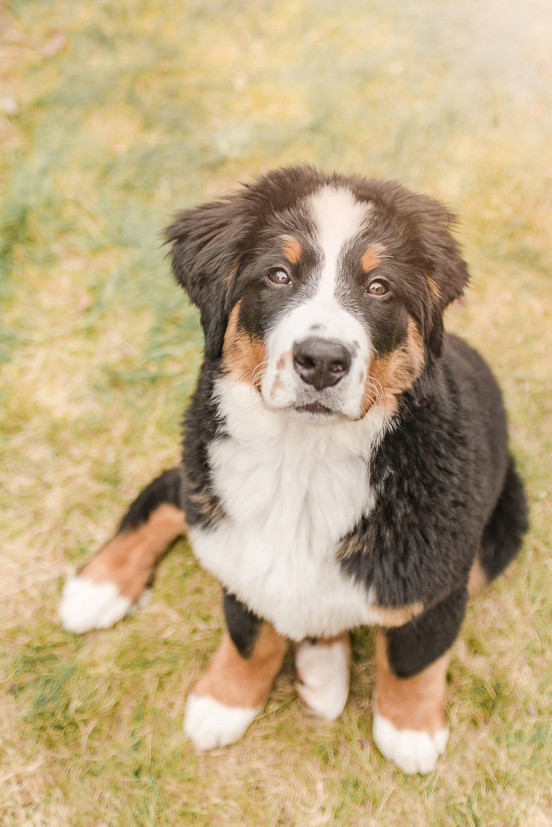 Bernese Mountain Dog puppy sitting in grass | ©Pearls & Pines Photography, on location dog portraits