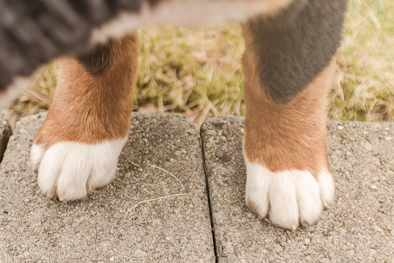 close up of Bernese Mountain Dog puppy paws | ©Pearls & Pines Photography, dog photography ideas
