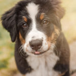 Puppy Love:  Ruby Sue the Bernese Mountain Dog | Seattle, WA