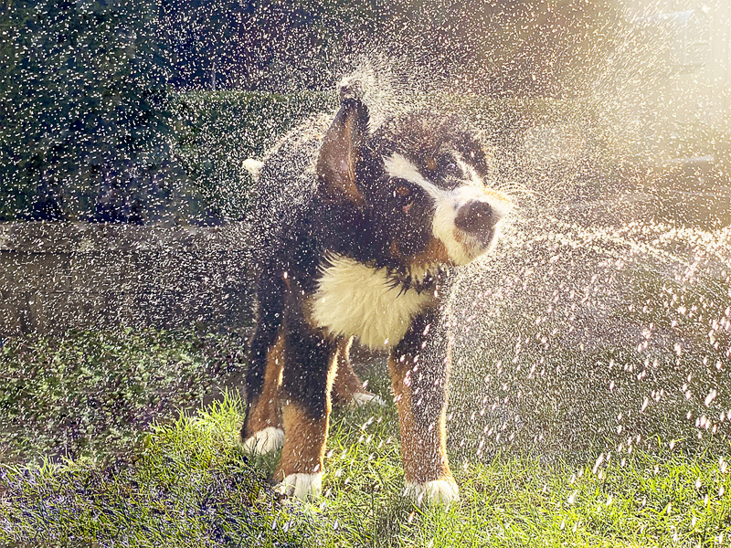 Berner puppy, cute puppy playing in the hose, dog photography ideas | ©Pearls & Pines Photography | Seattle pet portraits
