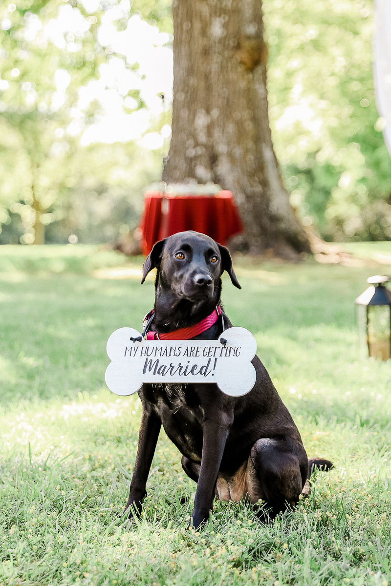 Lab/Chow mix wearing wedding sign | ©Shelby Chante' Photography