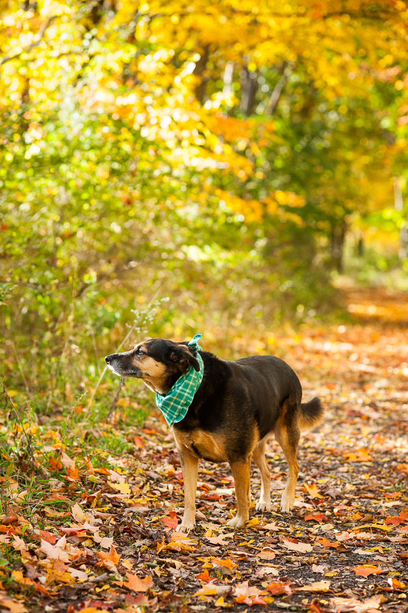 mixed breed enjoying walk in the woods, fall dog portraits #MyUnspokenPet | © Alice G Patterson Photography