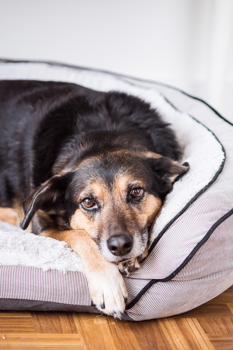 Shepherd mix lying in comfy dog bed, © Alice G Patterson Photography