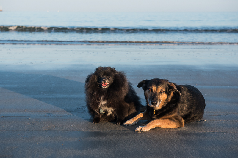 Pomeranian and mixed breed dogs on Mother's Beach, Kennebunk, Maine | © Alice G Patterson Photography
